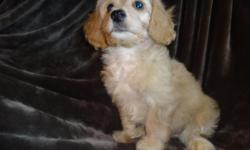 Cavapoo Puppies, (KING CHARLES CAVALIER SPANIEL/BICHON FRISE), 8 weeks, First shots, vet checked, written health guarantee. Very Loveabl, Affectionate and Full of charachter, Low shedding and very loyal, would be excellent with children or other family