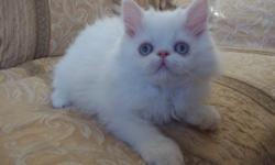 Beautiful blue eyed White Persian Male kitten 11 weeks old . first shots ,wormed and vet checked kitten is healthy with Vet report. kitten is cfa registered . he is a very sweet little boy asking $200. we are in Yakima if interested 509-576-4350