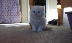 Male Persian kittens 11 weeks old black smoke with a doll face . cfa registered first shots, wormed and Vet checked he is Healthy with Vet Report $200. . we are in Yakima if interested call 509-576-4350