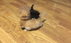 CFA Persians Born March 21st Ready to go home May 16th Call or text 307-431-1654