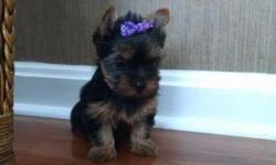 I have a male and females teacup yorkies had first shots/worming up to date,Vet checked,hypo allergenic, crate trained lap baby/warmers, puppy comes with starter bag, health guarantee, health Certificate Text us (240) 986-2234 for additional