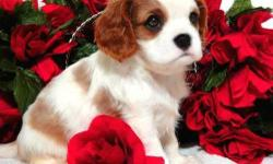 Champion Cavalier King Charles Spaniel puppies for you . ,We have one female/male puppies now available and they are 9 weeks old, they have very good temperament with kids and other pets,very playful love to