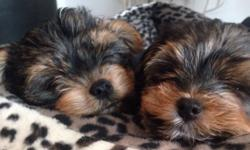 Our puppies come from a Yorkshire Terrier Mom that weights 3.5lbs and a 3lbs registered Yorkshire Terrier Dad. There are 3 males to choose from. The pups will mature in the 3to 3.5lbs weight range. The puppies will come to their new family with the first