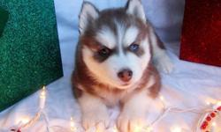 Healthy 14 weeks old purebred Siberian Husky puppies for sale. Please reply to this ad if you think you may be able to offer a good home for them. Puppies are raised in our home and are extremely friendly. , kindly send a text for more details and pics at