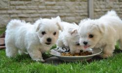 Adorable Maltese Puppies for adoption with all the shots and pure paper. They have Snow White coat. They are super cute and loving. White with black eyes. All shots are up to date with deworming as well. They are purebred with paper. Will be full grown