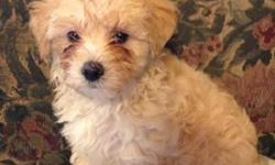 Hello There! I'm Chase, the cream hadsome male Maltipoo! I was born on April 6, 2016. My moma is 10lb maltese and my papa is a 6lb poodle. They're asking $850.00 for me! I can't wait to have a family of my own and a I am a good pet for children who has