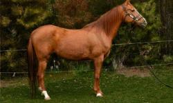 Standing at 14.2 hands, Special Effectx is a purbred Arabian, Certification of Registry # 0556581. He was born on June 23, 1998. He loves people and being around other horses. Trained to voice commands. He is an outstanding horse.