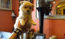 cute fuzzy puppies, four males and one tiny female, eight weeks old raised in a loving home for sale to good homes only at price of $400.00 each 864-968-9810 or cliff383@charter.net