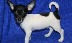 1 Male Chi-Rat (Chihuahua/Rat? Terrier) born on 5-29-11. UTD on shots and comes with a health warranty. *?* Credit Cards Accepted (Visa/MasterCard????) ** Financing Available (Please Inquire) ** Shipping Available For More Info Call/Text: 262-994-3007??