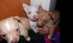 Adorable pure chihuahua pups for sale at $300 each. Pups are brown and white. Two are male and two are female. Call (210)435-1942 Two 1 Zero Four 3 Five 1Nine 4 Two
