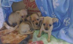 Chihuahua puppies ckc s/w 2F 1 M sweet and playful please call me at 210 309-3413