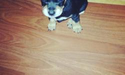 Still got chihuahua puppies for sale need to go ASAP. Asking for 50 obo 1 girl 3 boys Serious buyers only In the stockton area 209-981-9518