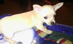 Two adorable pups. 1 female, blonde/white in color, 1 male tan in color, smaller in size. Both are very cute and spunky. Mom and dad are full blooded Chihuahuas..both less then 8 lbs., and both are on premises. Asking $200.00 each. They were born on