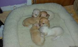 They was born April 7th they will be ready to go their new homes around the 20th of May.Mother and father are on site.They are both Apple head Chihuahua