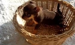 Chihuahua puppy CKC register 1 male 6 wks old apple headchoclate tan markings 1.5lb $250.00S&W parents on site call for more imfo. 706/595/1070