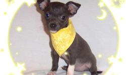 This baby girl is darling. She is sweet and gentle but loves to play. She has been raised with TLC and has lots of love to give her new owner. She is a beautiful blue color.She is micro chipped.She comes with her first series of shots, wormings and a Vet