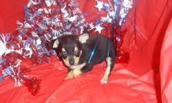 1 Female Chihuahua born on 4-21-11. UTD on shots and comes with a health warranty. ** Credit Cards Accepted (Visa/MasterCar?d?)?? ** Financing Available ** Shipping Available ** Microchipped? For More Info Call/Text: