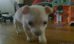 He is six weeks old. He is a light tan. We have mom and dad here. He is eating puppy food. He is sweet palyfully and looking for a good home. Text Christal at 6785888780 or call Cheryl at 4787145518 or at 4042599581