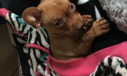 Beautiful Chihuahua puppy for sale, has had first shots, 16 weeks old, very fun and playful! Potty trained, house trained, and very lovable! Will be small when fully grown, as both parents are under 5lbs.Will provide some food, toys, and other