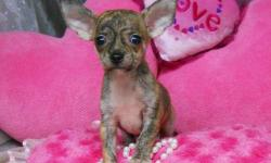 1 Male Chihuahua born on 7-23-11. UTD on shots and comes with a health warranty. *?* Credit Cards Accepted (Visa/MasterCard???????) ** No Credit Check Financing Available (Please Inquire) ** Shipping Available ** Microchipped? ** UABR Registered For More