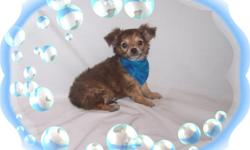 This baby boy is a cutie. He is full of love and kisses. He will make a great lap puppy.He is micro chipped.He comes with his first series of shots, wormings and a Vet Health Certificate. He also comes with a complete puppy packet that includes a