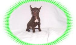 This baby boy is adorable. He happy and playful and loves to have fun. He is ready to be your new lap baby.He is micro chipped. He comes with his first series of shots, wormings and a Vet Health Certificate. He also comes with a complete puppy packet that