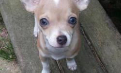 Tan with white on head and neck , female 14wks old , ckc , should reach 4 pounds.