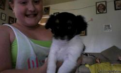 one black and white male had first shots $175 both parents on site very playful 8 weeks old One Black and white female had first shots $250 both parents on site very playful 8weeks old.