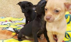 chihuahua teacup males & females 150/cell 561 233-3300 or 561 233-3300 shots,deworm, great for kids potty train parents home call4 more info
