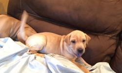 3 Chinese Shar-Pei puppies 1: Coco is a girl shehas light fur with shaggy skin and is very playful but loves her naps as well. 2: PJ is a boy who has light fur and hasavery playful personality andloves his chew toys 3: