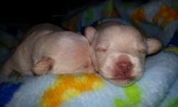 Chipoo puppies (Toy poodle/Chihuaha) (both full bred) - 1 male puppy for sale (3 puppies born total, 2 males and 1 female, 2 are taken) Born October 26th- puppy will be ready on December 22nd $600 or best offer ($100 deposit if you want to