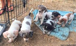 Cute Multi-Colored Piebald Chiweenies Pups. Part Chihuahua/Part Weenie dog. Small, playful and ready for a good home. Located in the South East part of San Antonio, Texas. If interested call or text me at 210-392-9655.