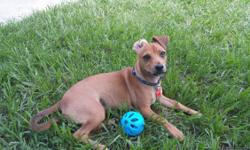 Chiweenie puppy 7 months 11lbs that is looking for his forever home. 1/2 Chihuahua and 1/2 Dachshund. He is up to date on vaccinations he will come with his vaccination records, he his neutered and microchip, he's house trained (and train to use a bell)