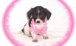 """This baby girl is frisky. She plays hard and loves to have fun. She has no clue she is tiny. She has a very out going personality. She is a Dachshund and a Chihuahua mix-""""Chiweenie"""".She is micro chipped. She comes with her first series of shots, wormings"""