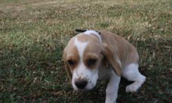 Say hello to Chloe! This adorable little female Beagle/ Cocker Spaniel Mix is ready to go outside and play! She was born on April 17, 2016. She loves kids and other pets. She has amazing, soft tan and white fur, with a dazzling smile! She is sure to be a