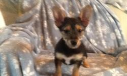 2 female chorkie (Chihuahua, Yorkshire terrier)puppies. Born 11-7-14. First shot and wormed. Call 715-654-5039