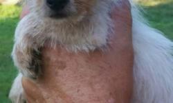 Chorkie puppies! DOB:4/8/16 2 males 1 female Ready to go! Tonya's Tiny Companions On Facebook Georgia state licensed pet dealer Tonya Lewis East Dublin GA 31027 478-697-0420