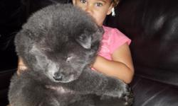 2 Male chow chow puppies left one cinnamon and one grey