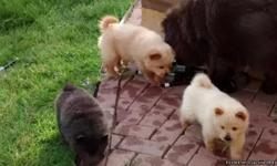 Chow Chow puppies 6 wks old, all colors, parents on site, they will be ready Aug. 12th. Please call to get dates and times of scheduled showings. 760 662 8662 / 720 329 2842.