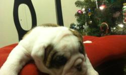 Christmas English Bulldog puppies Available Text us on () -