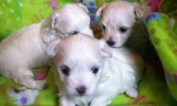 Teacup Maltese (4-5lbs) $2000 male $2500 female Micro Teacup Maltese* (2.5-3.8lbs) $3000 male $3500 females During the holiday season, its first come first served on full price paid purchases. Christmas holds past Thursday November 24, 2015