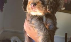 Gorgeous Ckc Chocolate male Cocker spaniel. Born 4/26/16. he is beautifully and uniquely marked. Loving,child oriented, current vaccinations, dewormed, insurance, declawed and tails docked . he has his full Ckc registration papers .Ready to go to his