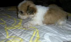 1CKC Female Shih Tzu will come with papers, vet checked, wormed, up to date on shots. Raised with other animals and already pre spoiled by my grandbabies.