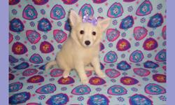 CKC registered miniature American Eskimo puppies, 9 weeks old. Three females at $600 each. They are ready for pick up. They will come with all the shots and worming up to date, and with one year health guarantee. Good with kids, friendly, and playful.