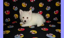 CKC registered male miniature American Eskimo puppy, 10 weeks old. He is ready for pick up. He will come with all the shots and worming up to date, and with one year health guarantee. Good with kids, friendly, and playful. Raised in a clean loving