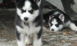CKC REG SIBERIAN HUSKYS...2 boys 2 girls all are black and white with blue eyes... all pupps have vaccines and health checks...will be ready jan 5th...parents raised with 4 childeren...very good family dog as well as watch dog...asking 275.00 for more