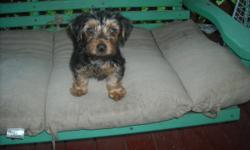 handsome ckc reg 10 week old yorkie male up on shots and worming tail has been docked and dweclawes been removed he is named Jorden black/Gold very handsome fellow he is lookin for his forever home he is non shedding and anti allegry