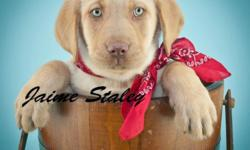 Do you think I'm great? If so, then Hi, There! I'm Clyde! The lovable Male AKC Labrador Retriever! I'm just so precious! I was born on February 12th,2014! So many people like me for my name, my warm soft yellow fur, and my beautiful light green eyes! I
