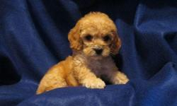 1 Male Cock-A-Poo (Cocker Spaniel/Toy Poodle) born on 4-26-11. UTD on shots and comes with a health warranty. For More Info Call/Text: 262-994-3007 ** Credit Cards Accepted (Visa/MasterCard) ** Financing Available ** Shipping