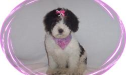 This baby girl is a dear. She is so sweet and loves everyone. She is ready for a new family to love.She comes with her first series of shots, wormings and a Vet Health Certificate. She also comes with a complete puppy packet that includes a beautiful pet